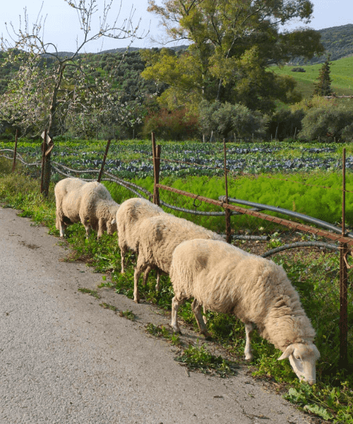 ovejas pastando agricultura ecológica